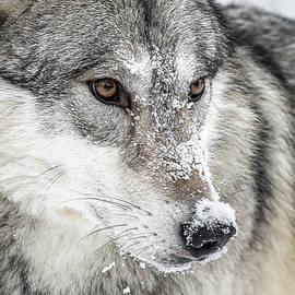 Wolf Close Up II by Athena Mckinzie
