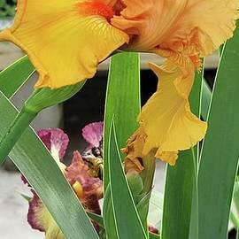 Yellow Bearded Iris by Charlotte Gray