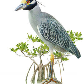 Yellow Crowned Night Heron On White by R christopher Vest