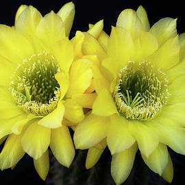 Yellow Torch Cactus Duo by Saija Lehtonen