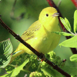 Yellow Warbler by Brian Baker