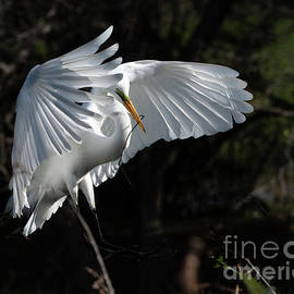 Great Egret by Tom Sergio