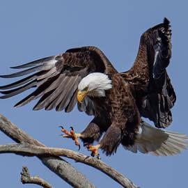 Bald Eagle by Jim Gregio