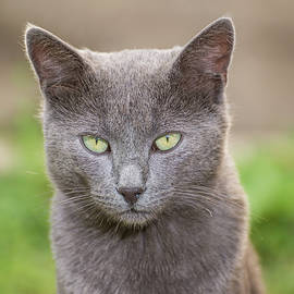 Russian Blue Cat by Ognian Setchanov