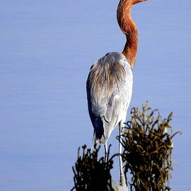 Reddish Egret  by Rob Wallace Images