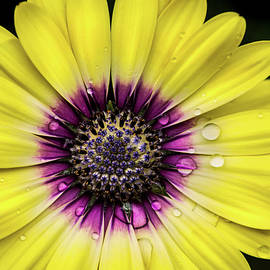 African Daisy by Don Johnson