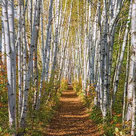 Autumn Birch Path by Chris Whiton