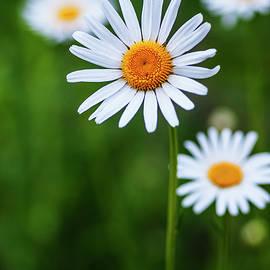 Elegant white daisies by Vishwanath Bhat
