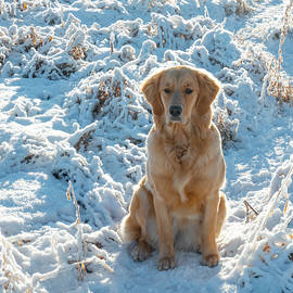 Golden Retriever In The Snow by Karen Rispin