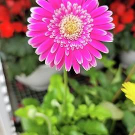 Hot Pink Gerbera Daisy by Charlotte Gray