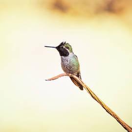 Hummingbird On A Branch  by Saija Lehtonen