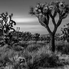Joshua Trees at Dusk - Black and White by Eric Albright