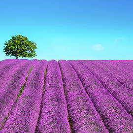 Lavender and lonely tree uphill. Provence, France by StevanZZ Photography