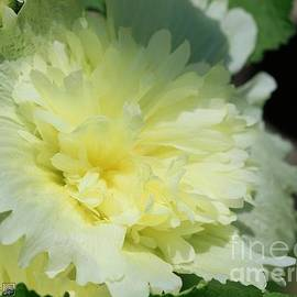 Lemon Hollyhock from the Spring Celebrities Formula Mix by J McCombie