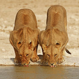 2 Lioness drinking at a waterhole by MaryJane Sesto