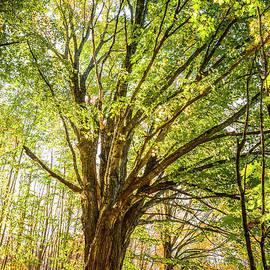 Maple Tree by Alana Ranney