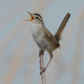 Marsh Wren by Whispering Peaks Photography