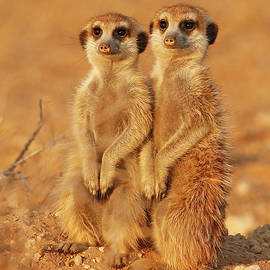 2 Meerkats at Sunset by MaryJane Sesto