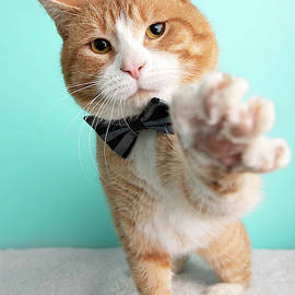 Orange Tabby Cat Portrait in Studio and Wearing a Bow Tie by Ashley Swanson