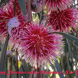Pin-cushion Hakea by Deane Palmer