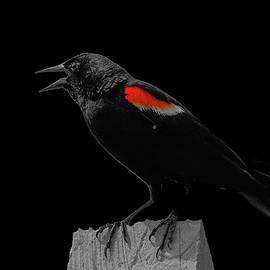 Red-winged blackbird by TJ Baccari