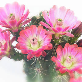 Softly Pink  by Saija Lehtonen