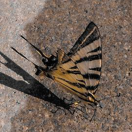 Endangered Swallowtail by Davorka Gredicak