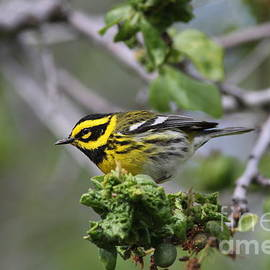 Townsends Warbler by Gary Wing