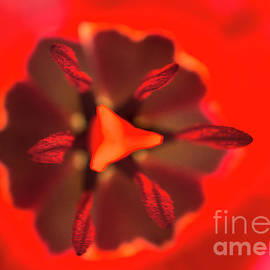 Tulip by Alana Ranney