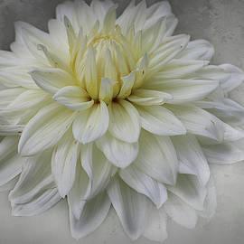 White Dahlia Flower by Barbara Elizabeth