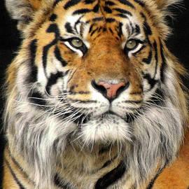 Bengal Tiger  by Doc Braham