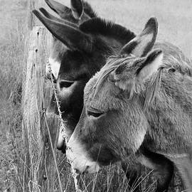 3 Donkeys by Siene Browne