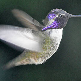 Hummingbird In Flight by Jay Milo