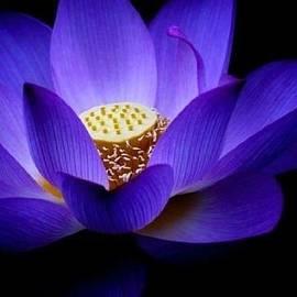 Lotus by Doug Norkum