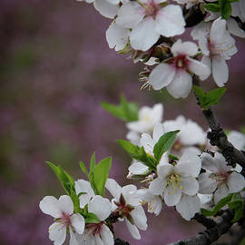 Plum white blooming blossom flowers in early spring. Springtime beauty by Michalakis Ppalis