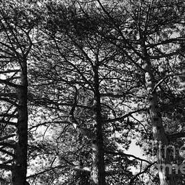 3 Wild Pines, in black and white by Maria Faria Rodrigues