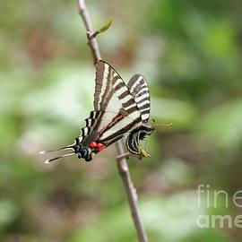 Zebra Swallowtail by Megan McCarty