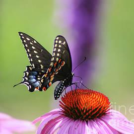 Black Swallowtail by Megan McCarty