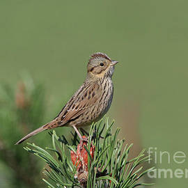 Lincoln's Sparrow by Gary Wing