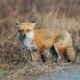 Red Fox by Deborah Springer
