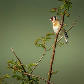 Goldfinch by Chris Smith