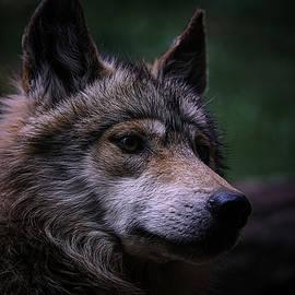 Mexican Grey Wolf by Ernie Echols