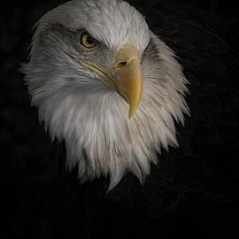 A Bald Eagle by Ernie Echols