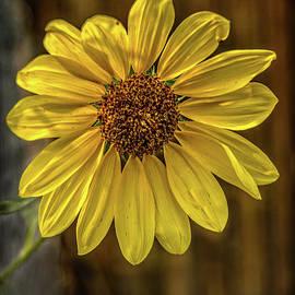 A Beautiful Sunflower by Robert Bales