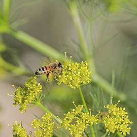 A bee flying over Giant Fennel by Hatsofe B