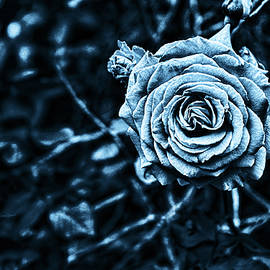 A Blue Rose by Sharon Popek