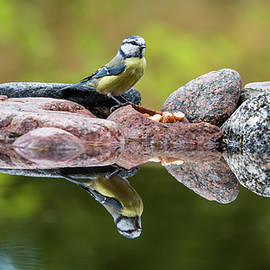 A Blue Tit is food seeking at the pond by Torbjorn Swenelius
