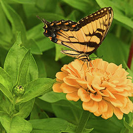 A Busy Tiger Swallowtail by Robert Tubesing