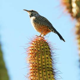 A Cactus Wren on a Saguaro, Tucson, AZ, USA by Derrick Neill
