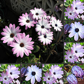 A Celebration of Cape Daisies Collage by Kathryn Jones